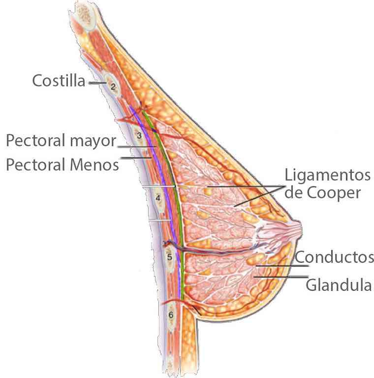 Partes del pecho