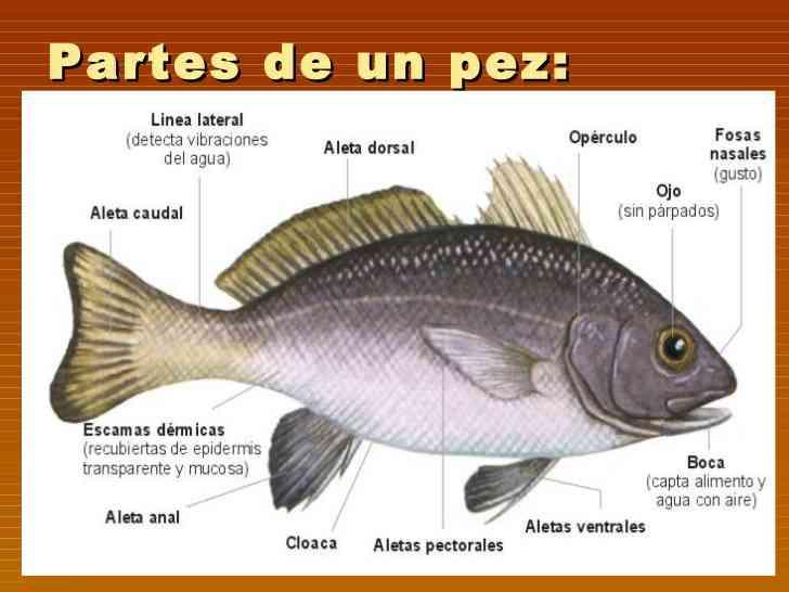 Partes del pez for Como se cultivan los peces