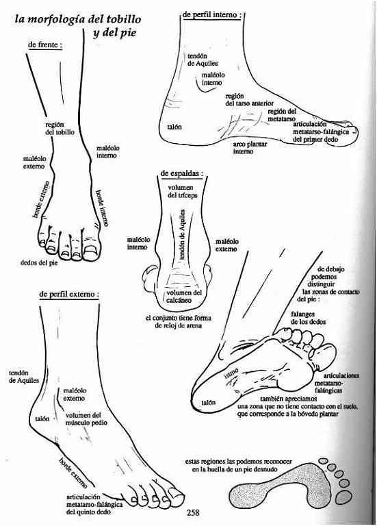 Partes del pie humano