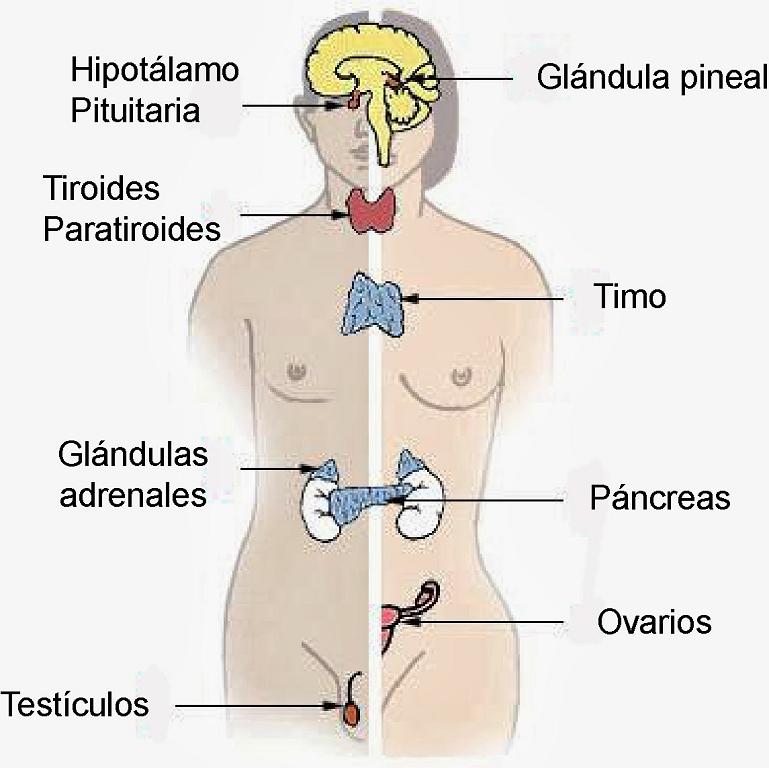 Partes del sistema endocrino