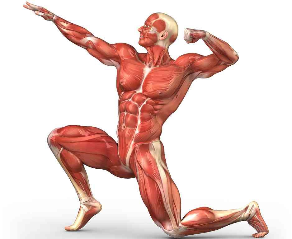 partes-del-sistema-muscular...jpg