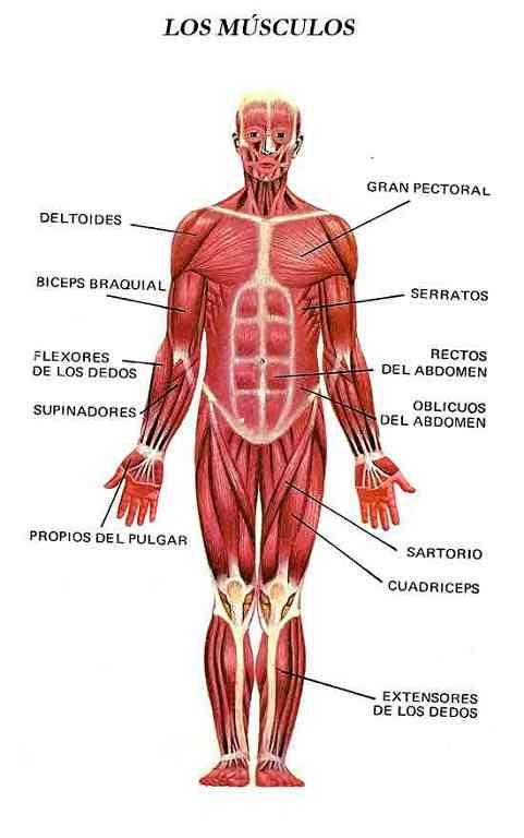 Partes del sistema muscular