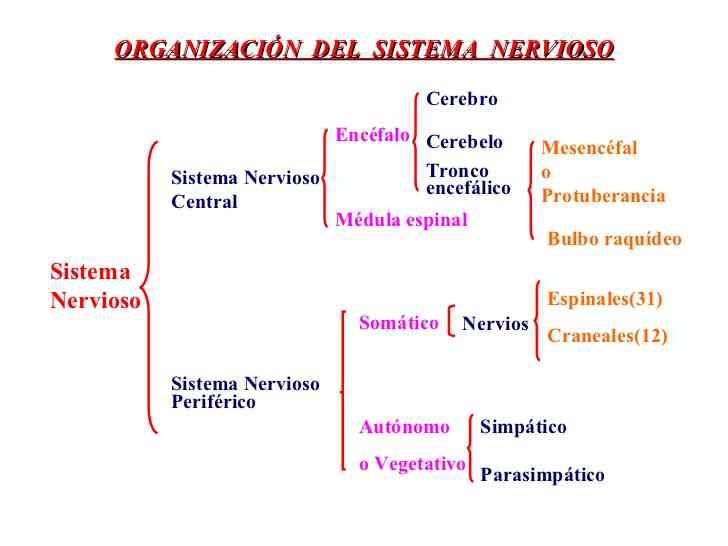 Partes del sistema nervioso