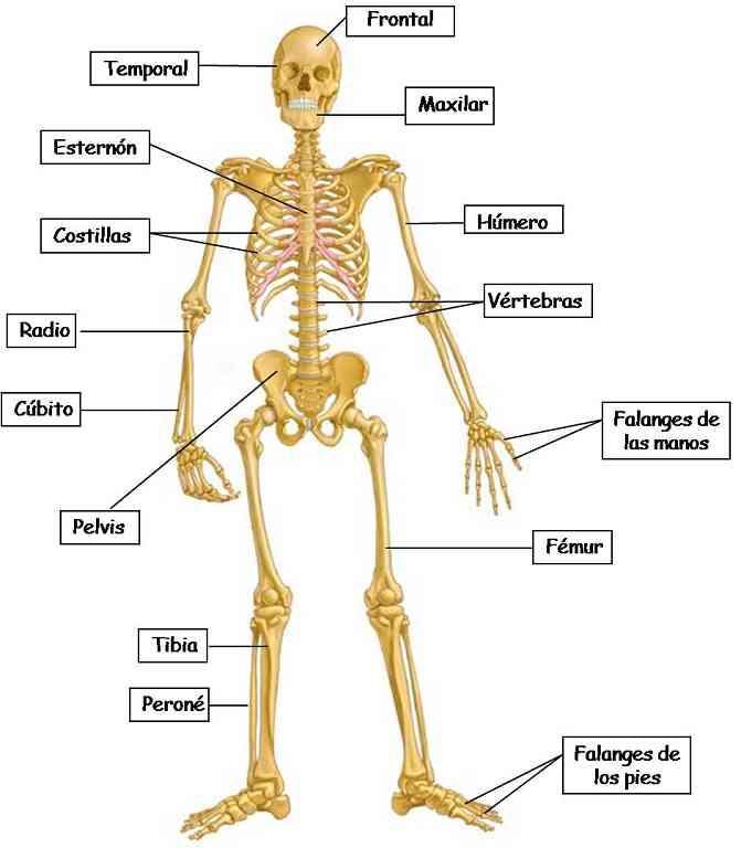 Partes del sistema óseo
