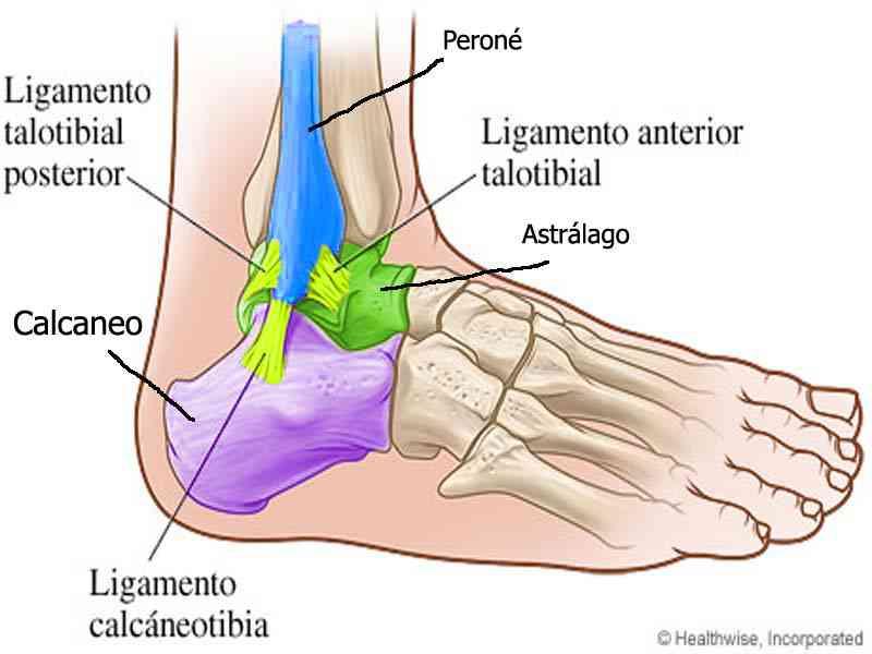 Partes del tobillo