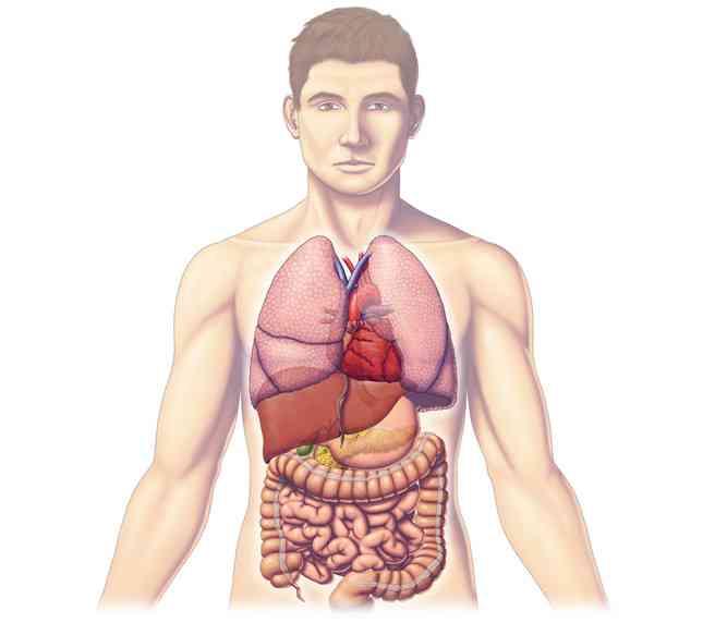 Partes del tronco humano